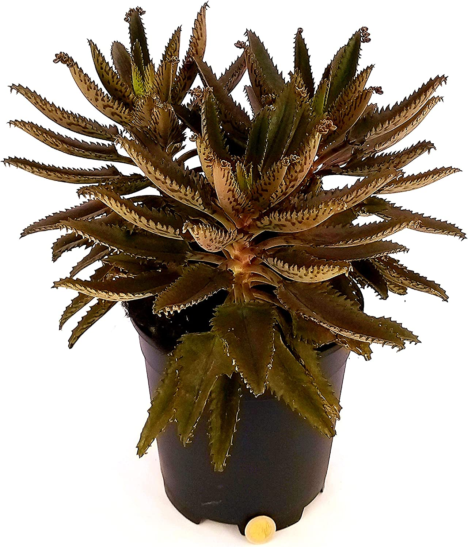 echte Pflanze KALANCHOE DAIGREMONTIANA