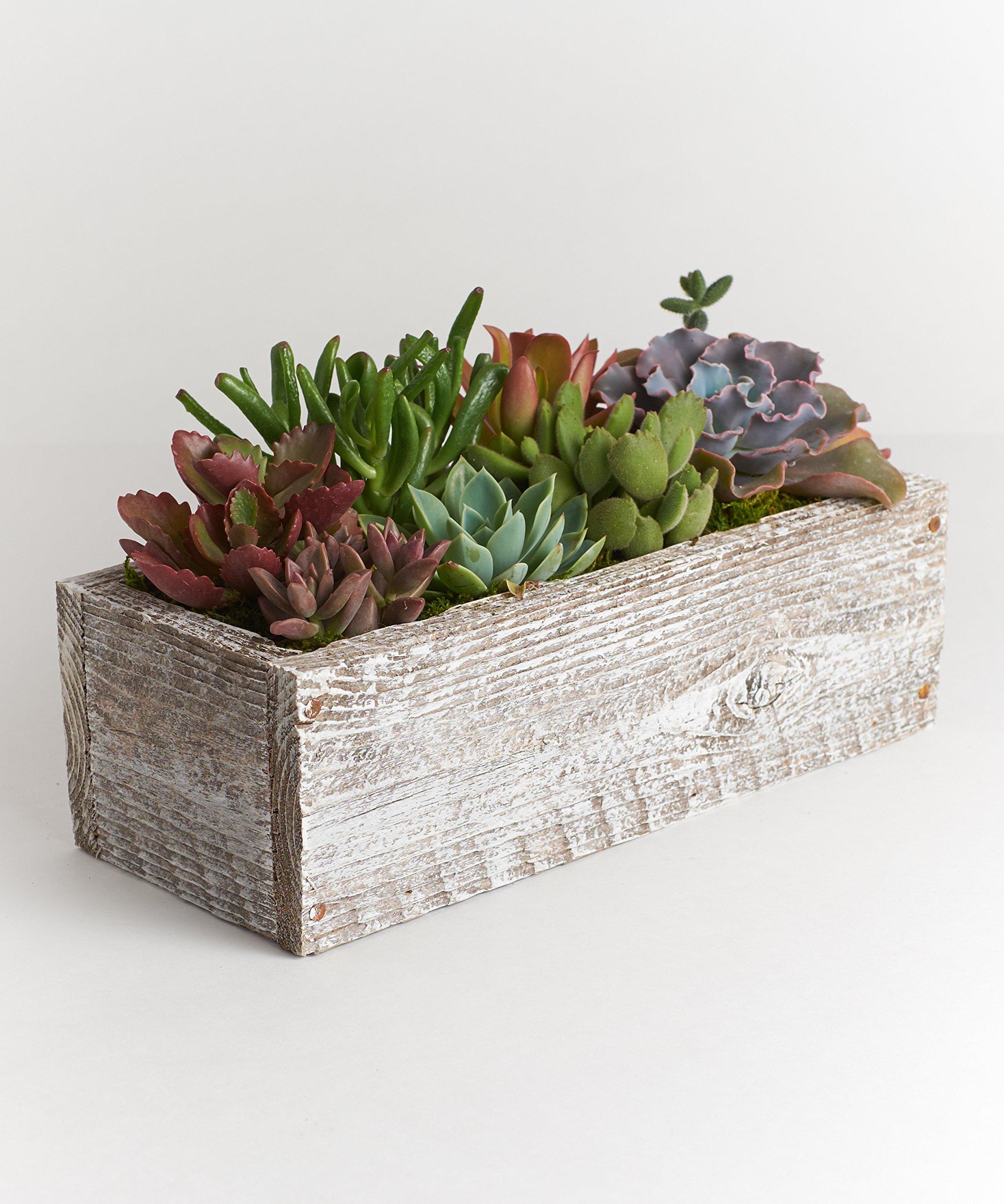 Shop Succulents 12'' Wood Succulent Planter - Comes Planted with Live Succulent Plants (White)