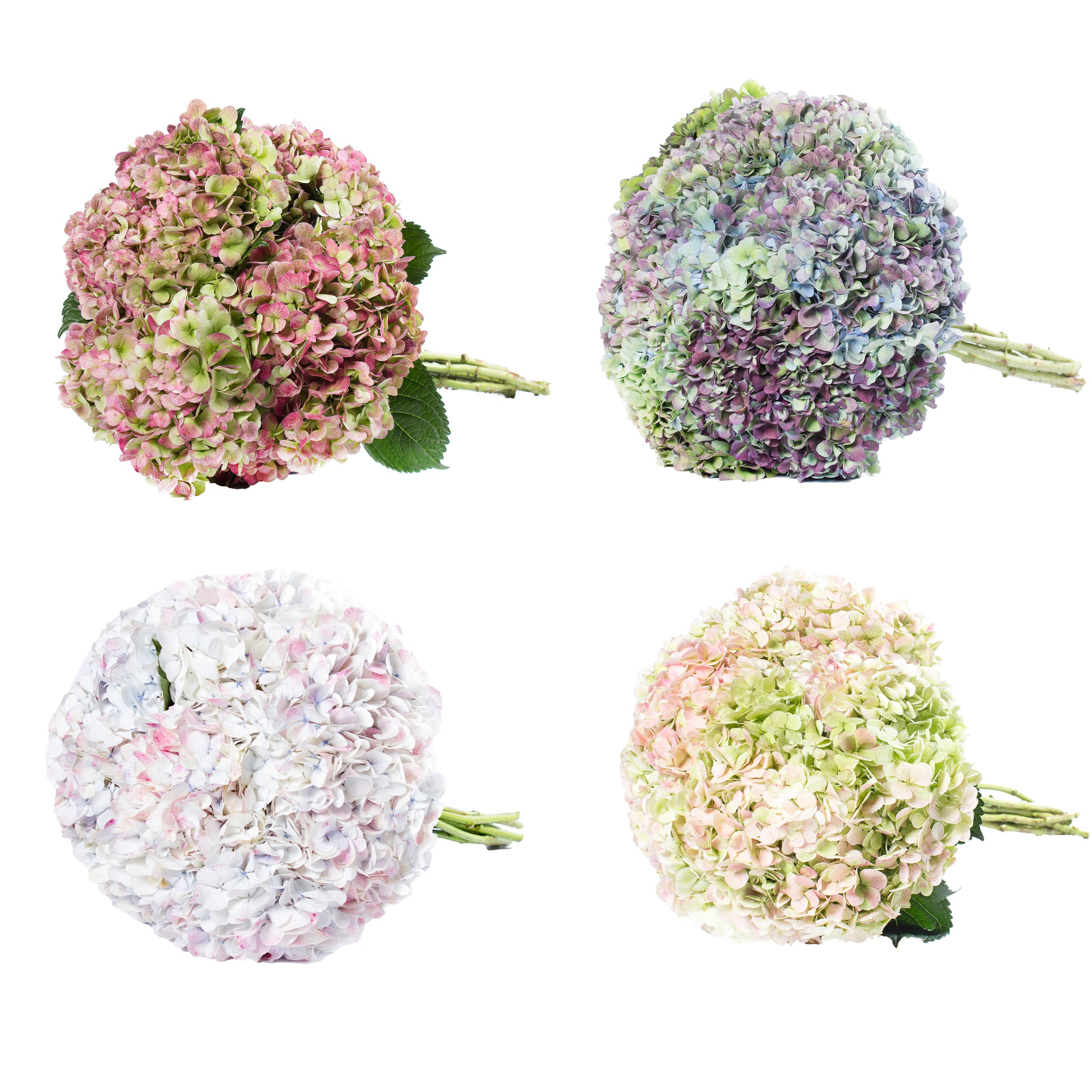 Farm Fresh Natural Jumbo Antique Assorted Hydrangeas - Pack 12