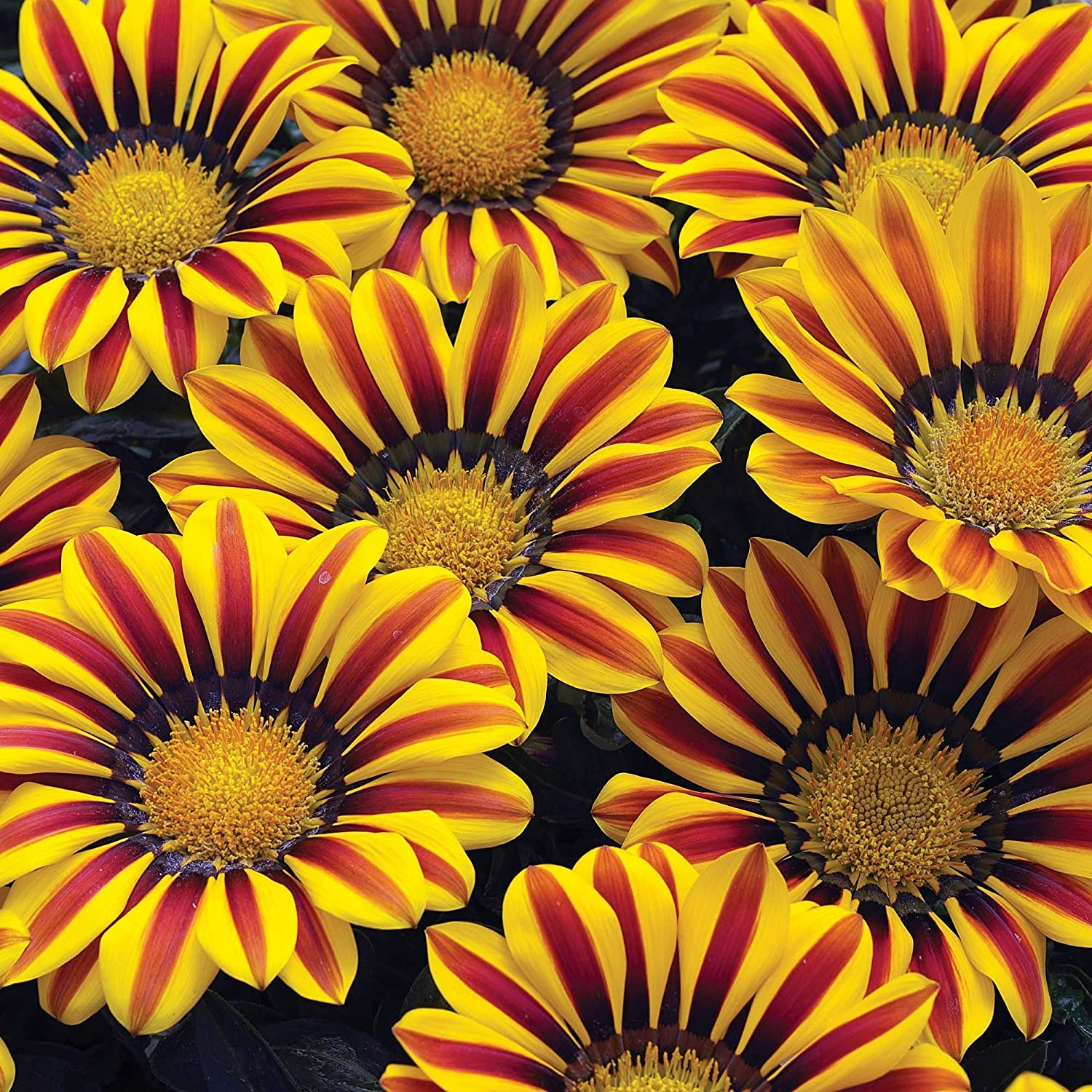 Exotic Gazinga Flower Seeds - 100+ Seeds to Grow - Made in USA, Ships from Iowa - Great with Marigold or Roses
