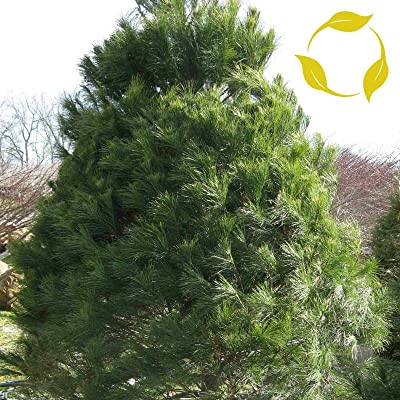 Eastern White Pine Pinus Strobus 10, 20 Seeds : Garden & Outdoor