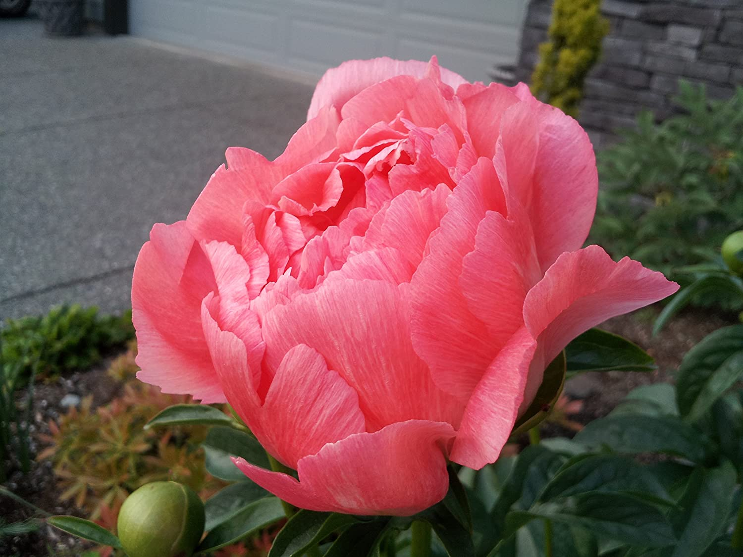 Coral Sunset Peony: description, photo 96