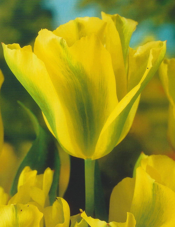 Baltus Blumenzwiebeln Tulipa Groenland Tulpen 20 Stueck rosa Blumenzwiebel Viridiflora