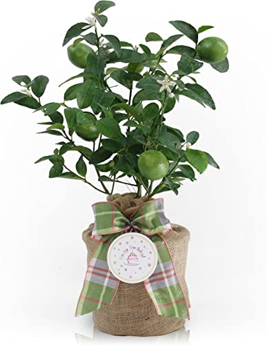 Birthday Gift of an Improved Persian Lime Gift Tree by The Magnolia Company – Get Fruit 1st Year, Dwarf Fruit Tree with Juicy Delicious Limes, Indoor Outdoor Live Potted Citrus Tree