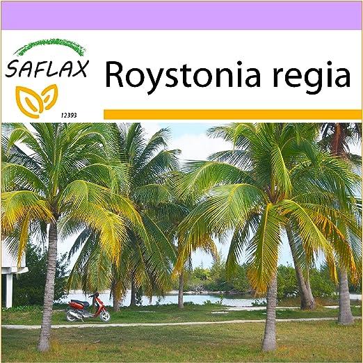 SAFLAX - Palmera real cubana - 8 semillas - Roystonia regia: Amazon.es: Jardín
