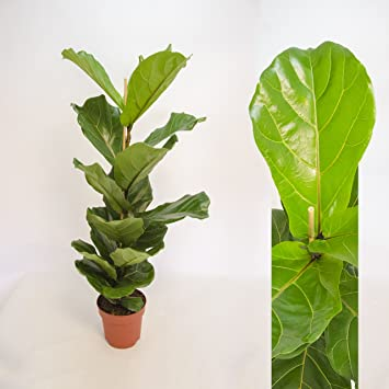 35 cm Ficus Lyrata Bambino Geigenfeige Topf-/Ø 12 cm H/öhe ca