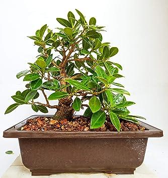 Green Paradise Live Plant Bonsai Tree Ficus Long Island Mini