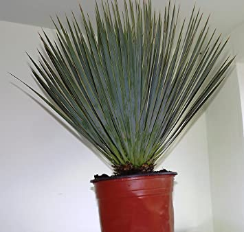 office pot plants. yucca rostrata pot 22 big bend fully hardy spectacular plant office plants