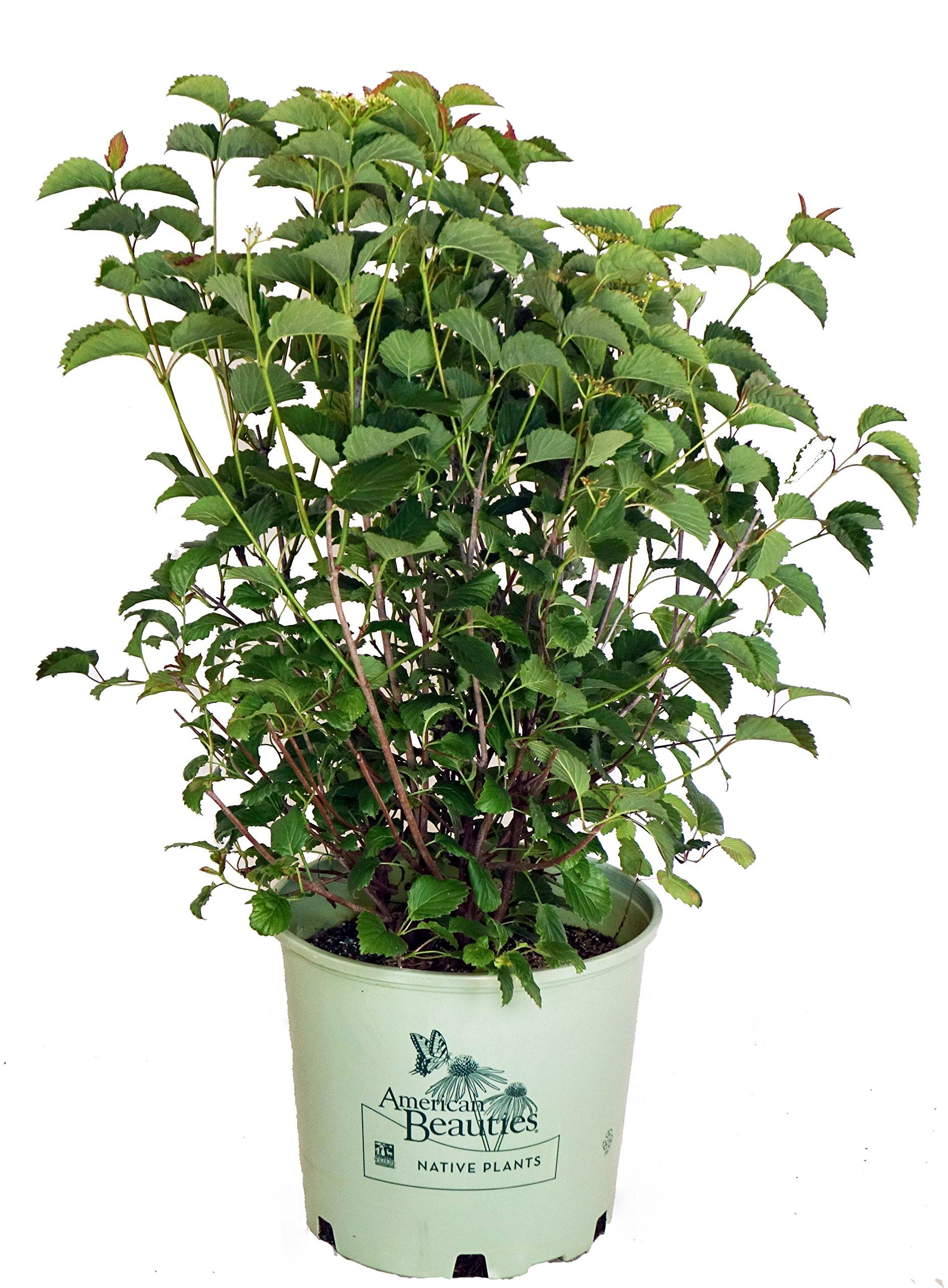 American Beauties Native Plants - Viburnum dentatum 'Blue Blaze' (Arrowwood) Shrub, white flowers with blue fruit, #3 - Size Container