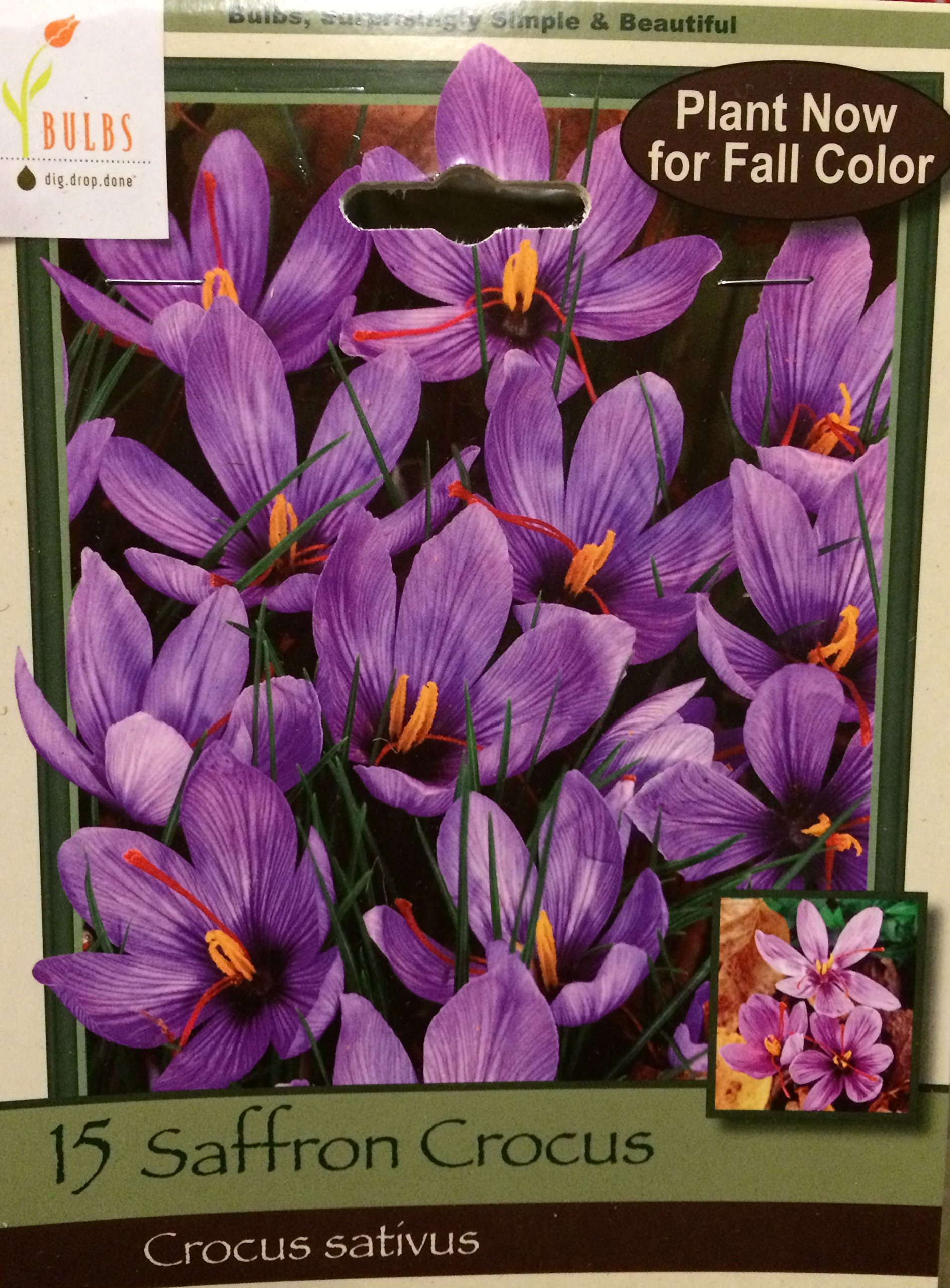 15 JUMBO Saffron Crocus Corms/Bulbs ~ FALL blooming ~ RARE SPICE ~ crocus sativus