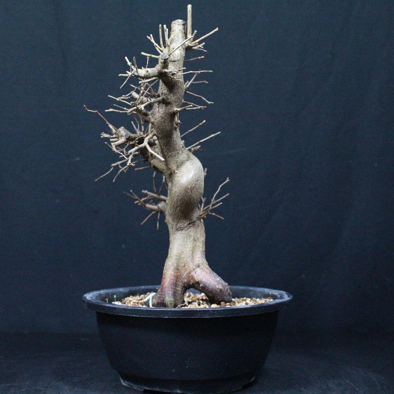 Carpe coreano, Carpinus coreana, bonsái para exterior, 17 años, altura 26 cm: Amazon.es: Jardín