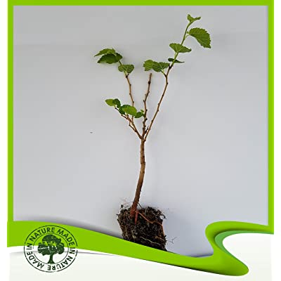 Morus alba (White mulberry) - Plant : Garden & Outdoor