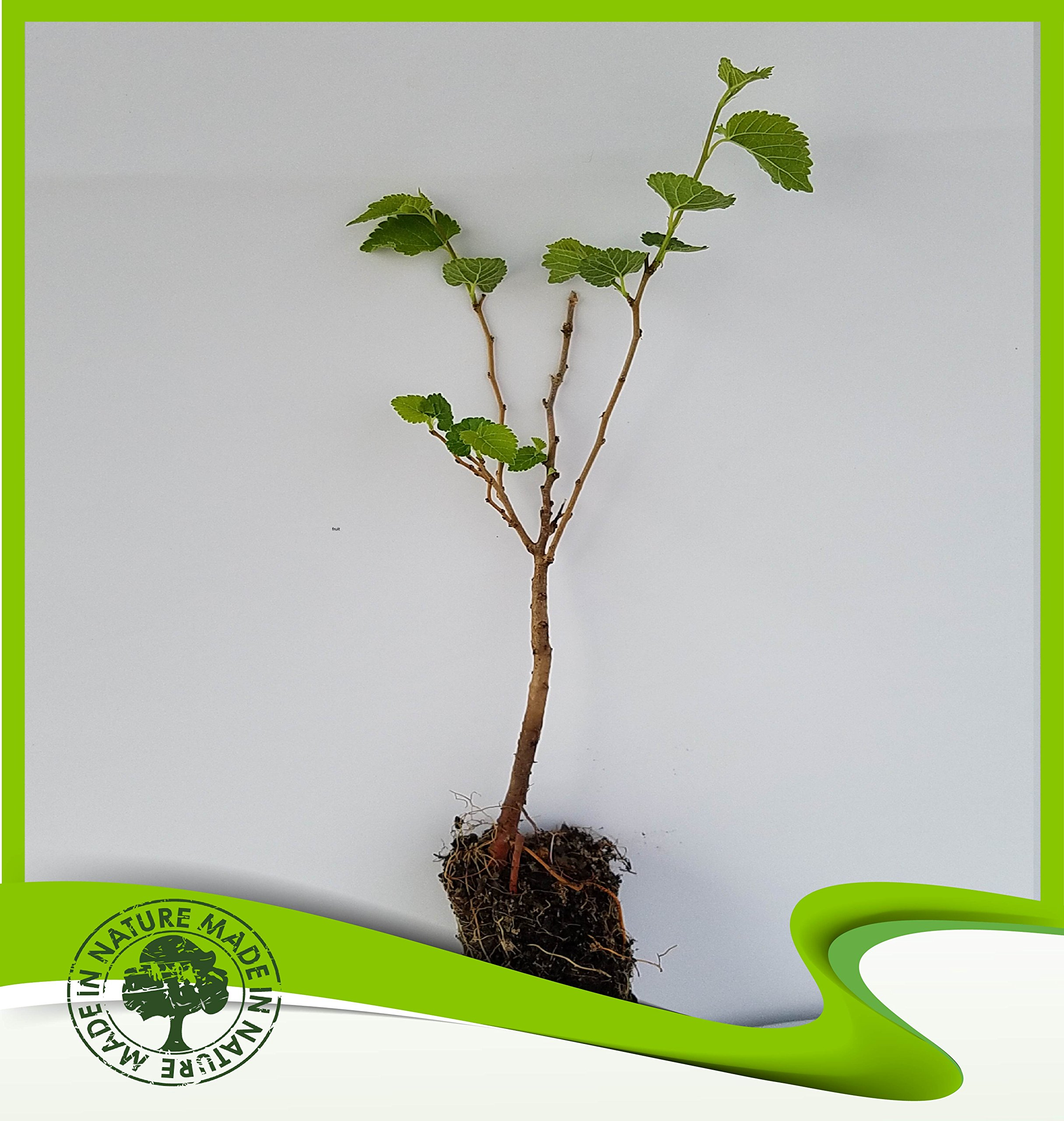 Morus alba (White mulberry) - Plant