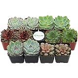 Shop Succulents Rosette Succulent (Collection of 12)