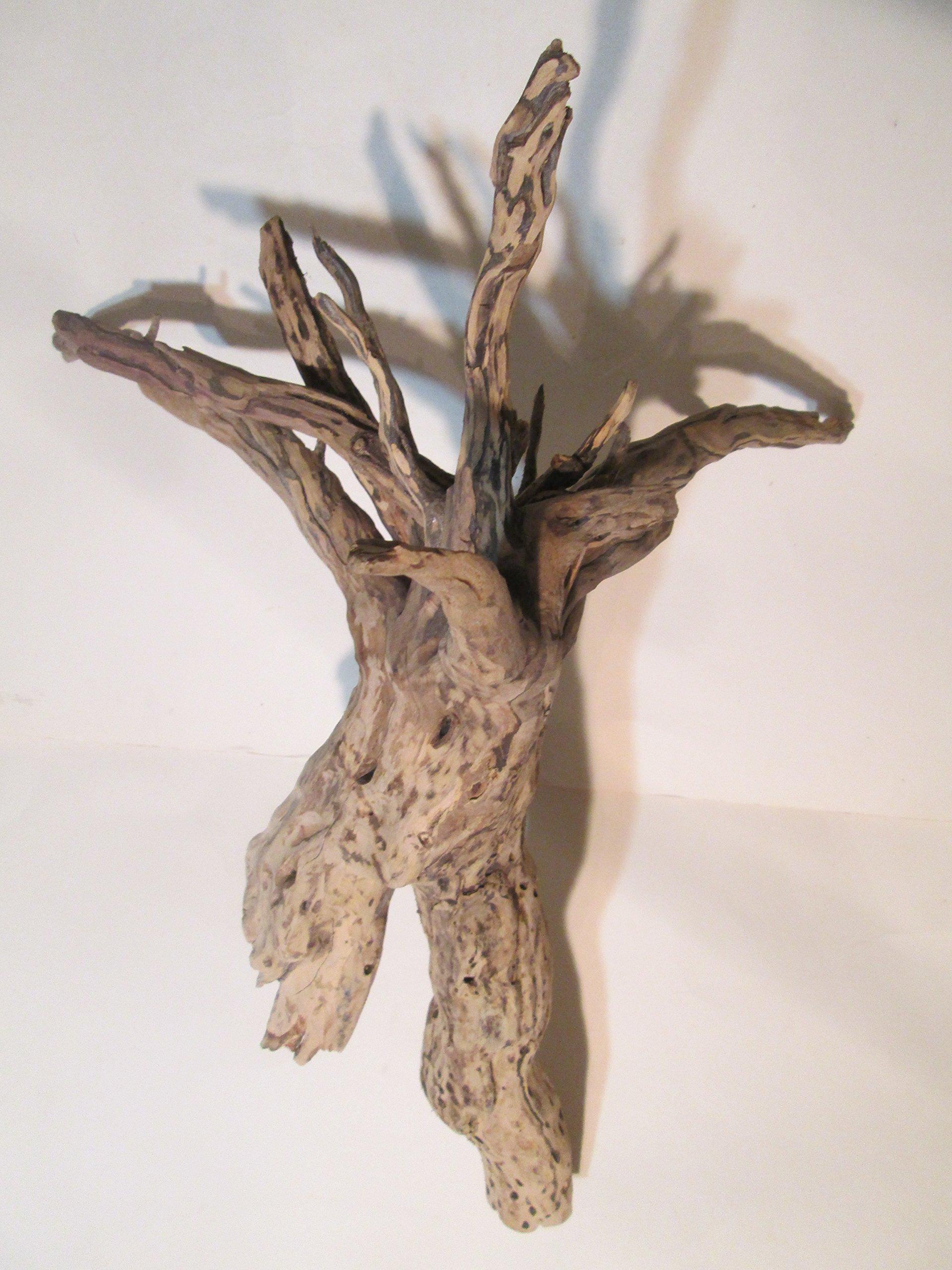 Unique Cholla Wood Piece x1 Cactus Wood Natural Aquarium Decor Organic For Shrimp Fish by Aqua Emporium