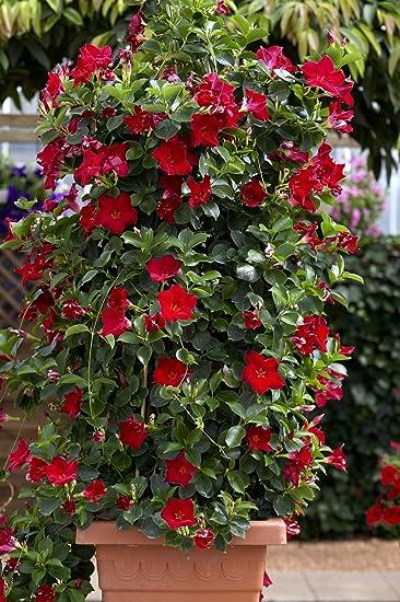 Dominik Blumen Und Pflanzen Dipladenia Mandevilla 3 Pflanzen 9
