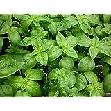 Genovese Italian Basil Seeds - 1.5 grams - Organic Herb
