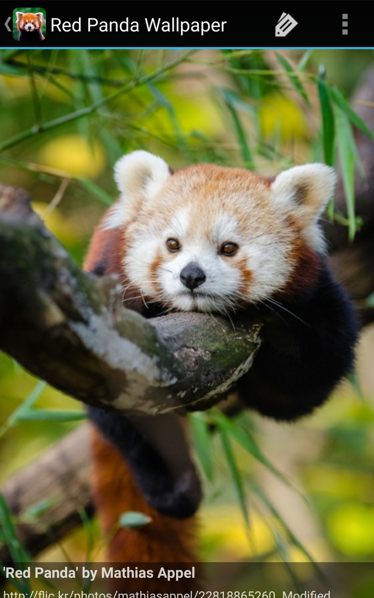 Amazon Com Red Panda Wallpaper Appstore For Android