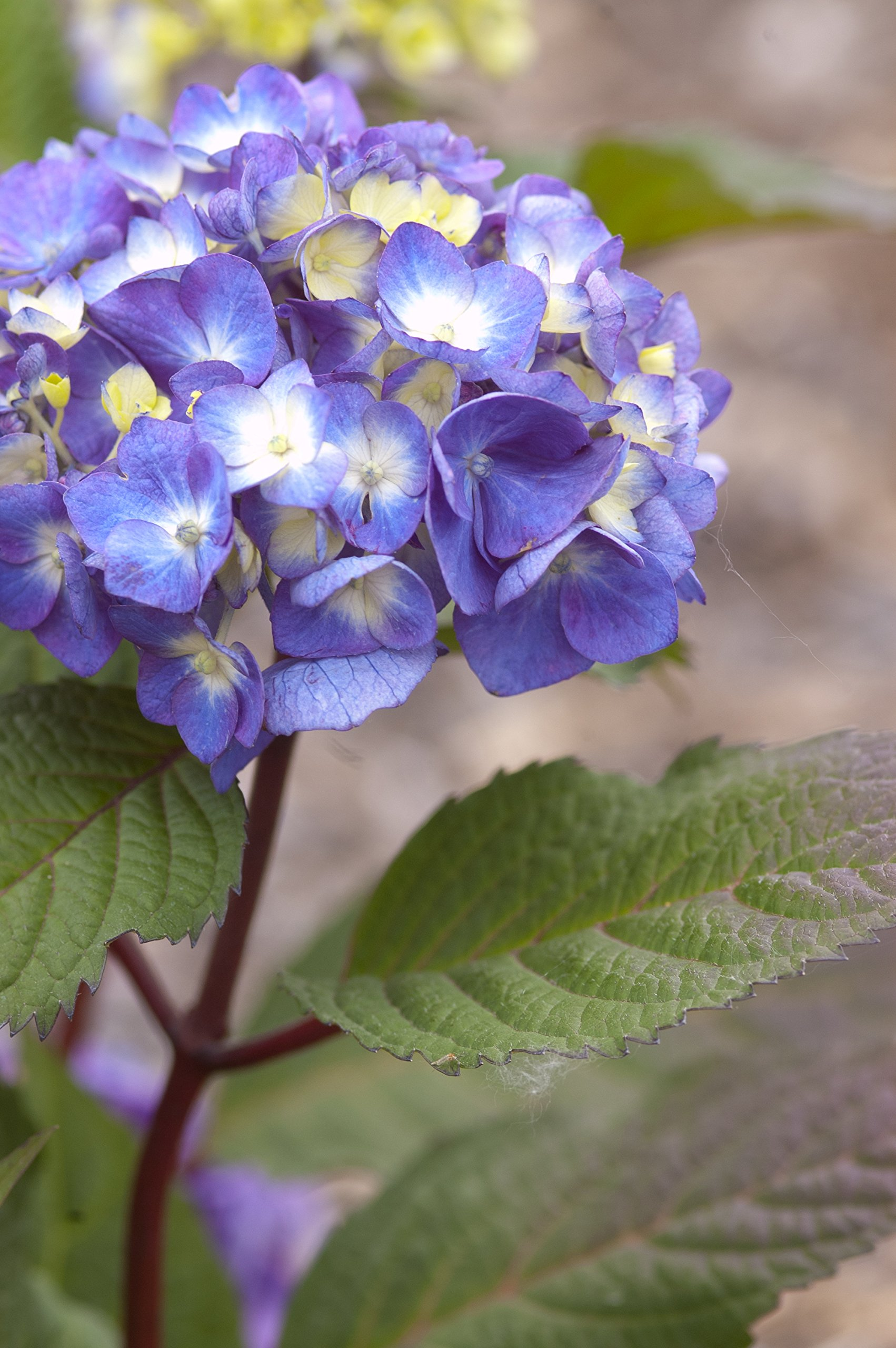 Endless Summer Collection - Hydrangea mac. Endless Summer BloomStruck (Reblooming Hydrangea) Shrub, RB purple, #3 - Size Container by Green Promise Farms (Image #3)