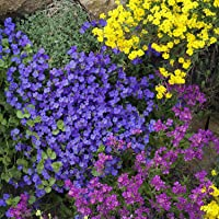 AUBRETIA Hybrida Mix 180 Seeds Flower Garden Rock CRESS Cottage Wall GROUNDCOVER