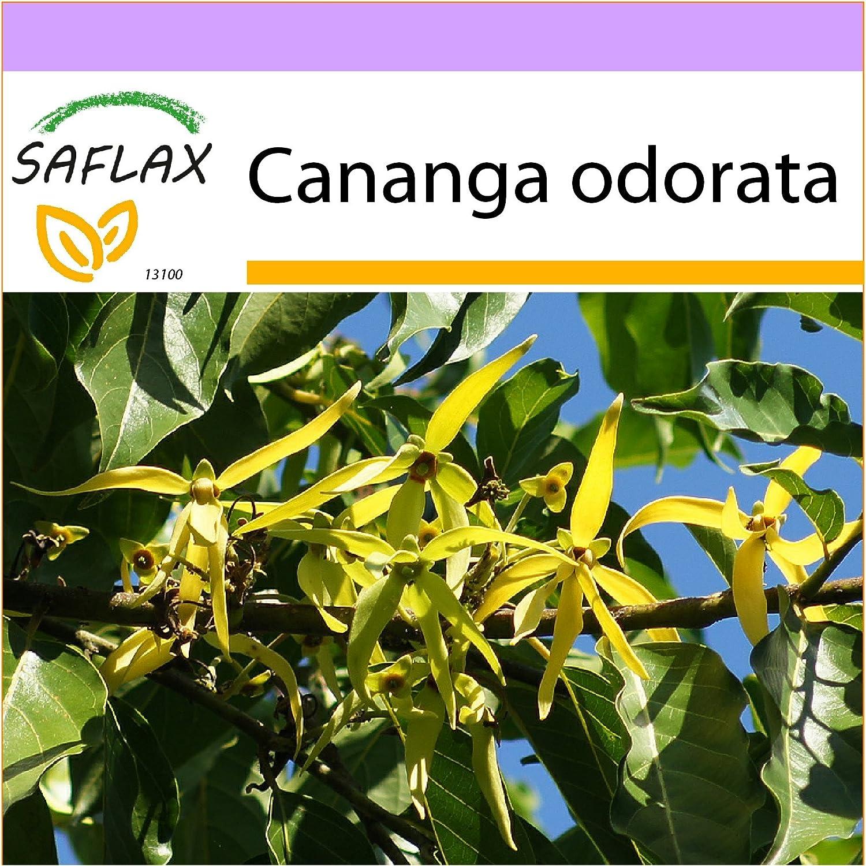 SAFLAX - Ylang-Ylang - 10 semillas - Cananga odorata