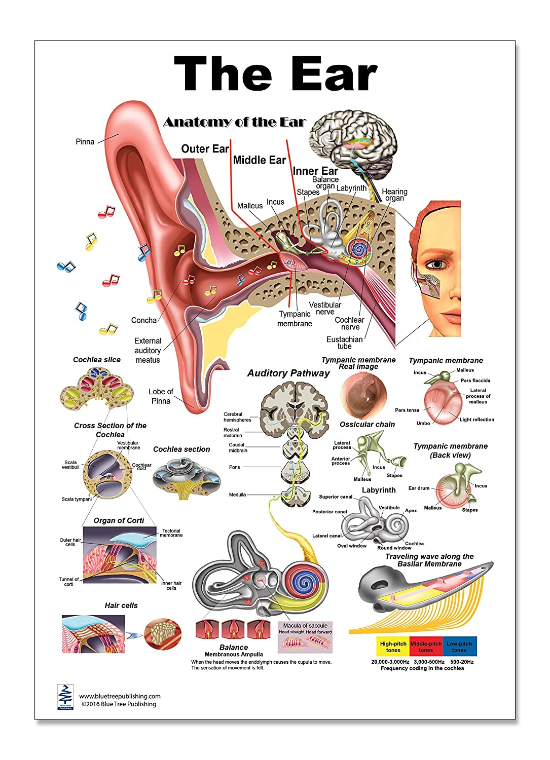 Amazon The Ear Poster 12x17inch Audiologist Anatomy Organs
