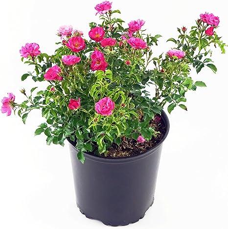 Amazon Com Flower Carpet Roses Rosa Pink Rose Rose Double