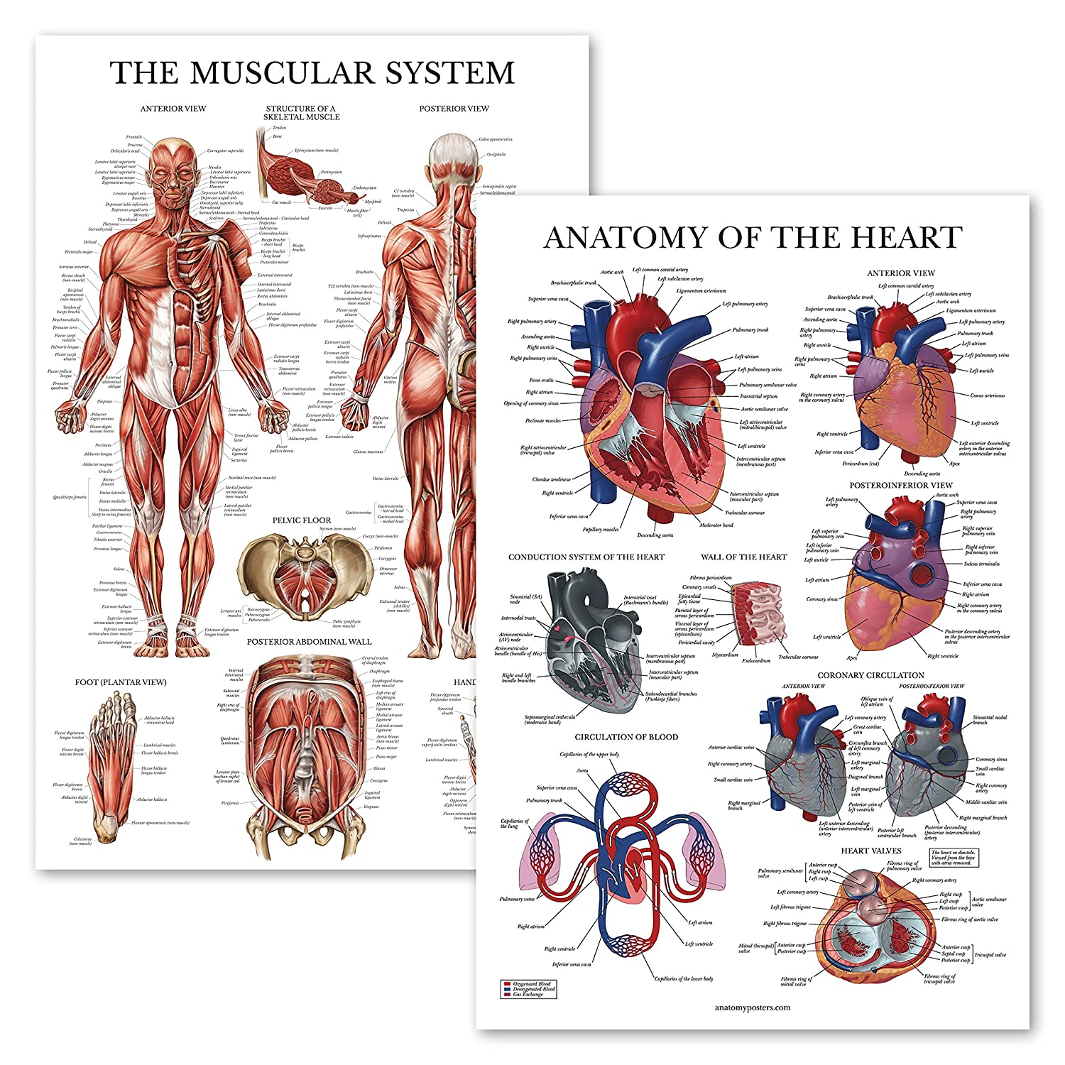 2 Pack Muscular System Anatomical Poster Heart Anatomy Chart
