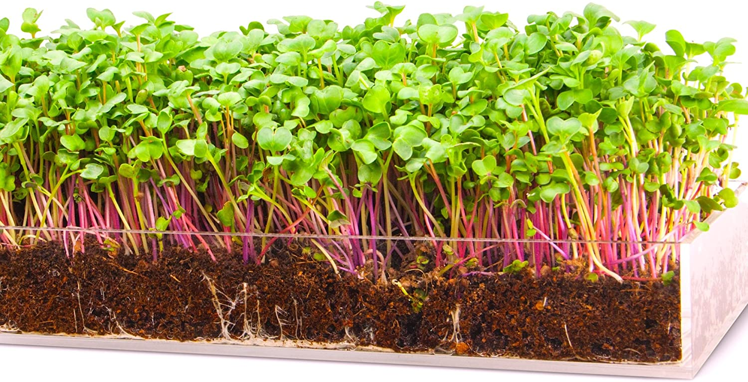 Grow n Serve Microgreen Kit Attractive Table Centerpiece Planter Tray Fiber Soil Spray Bottle Seed. Sprout Healthy Zesty Superfood Greens. Great Indoor Garden Gift for Men, Women, Foodie