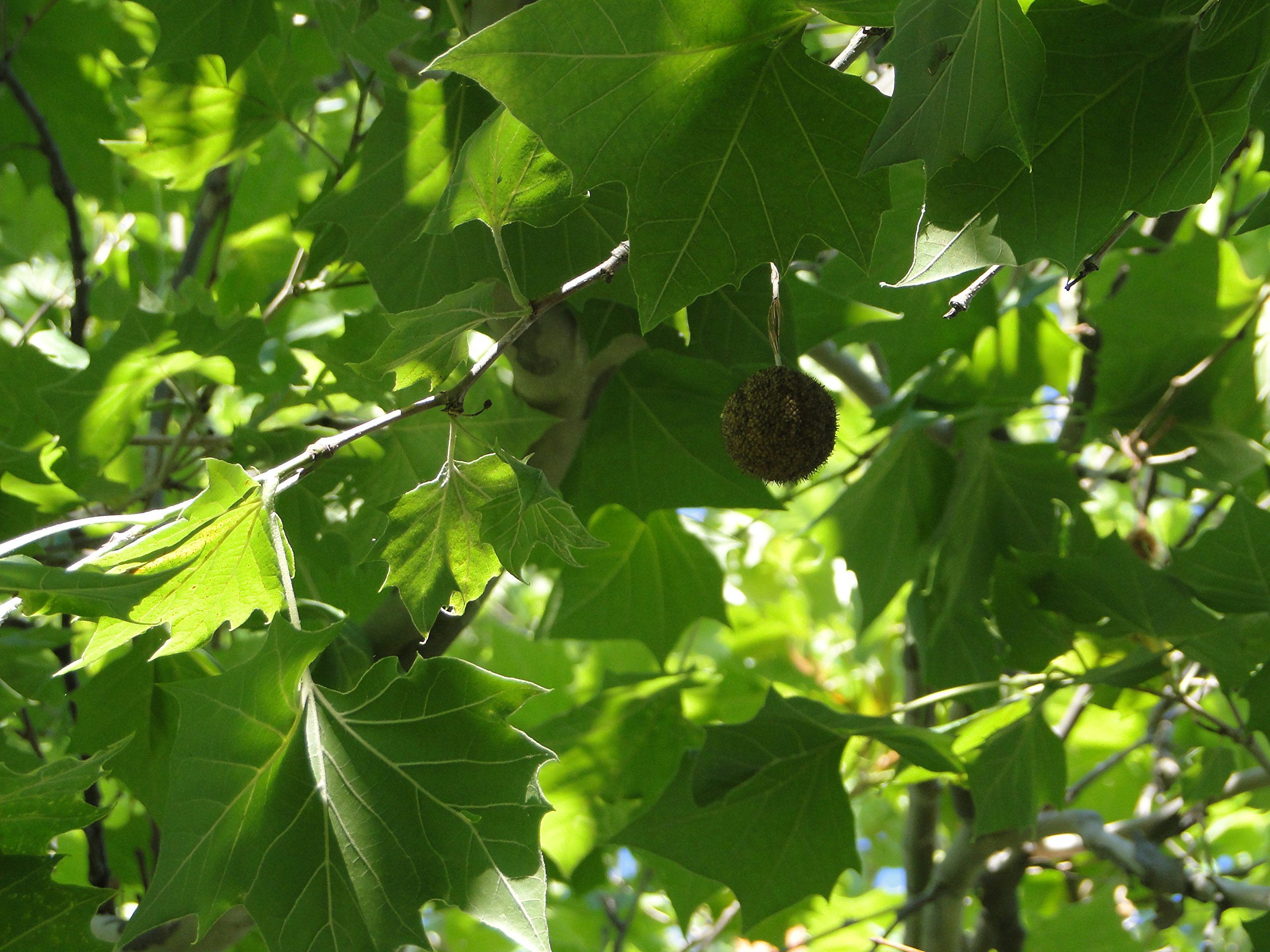American Sycamore Tree – Plananus occidentalis – Healthy Established Roots - One Trade Gallon - 1 Plant by Growers Solution