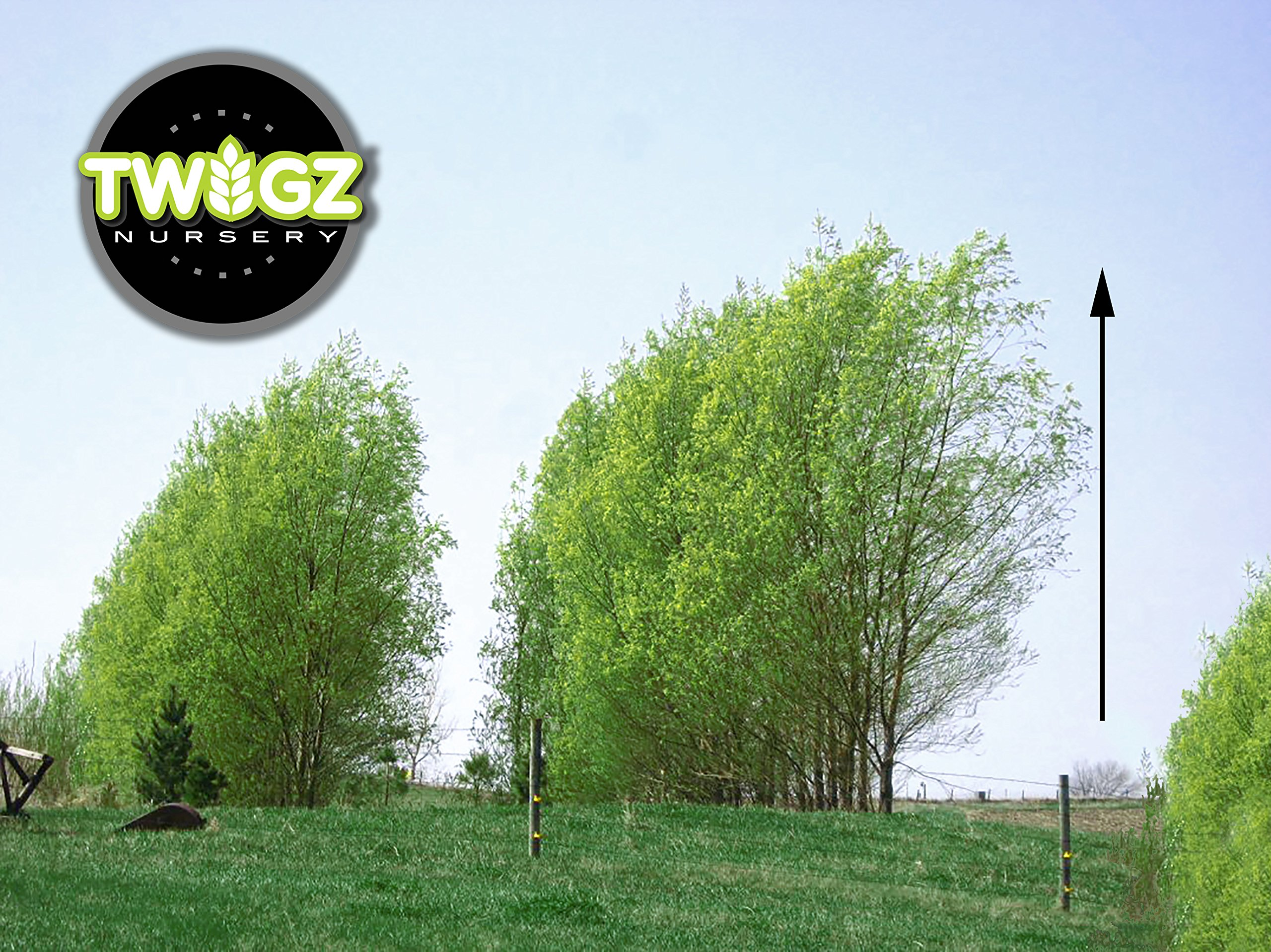 18 Hybrid Willow Trees - Ready to Plant - Privacy and Shade - Indoor/Outdoor Live Plants by Twigz Nursery