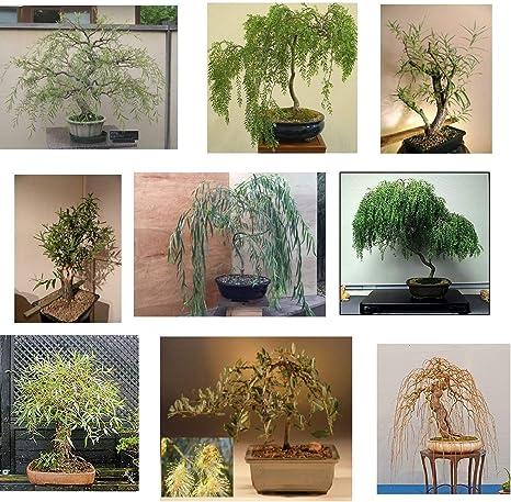 Amazon Com Ultimate Willow Bonsai Bundle 9 Types Of Exotic Willow To Grow As Bonsai Garden Outdoor