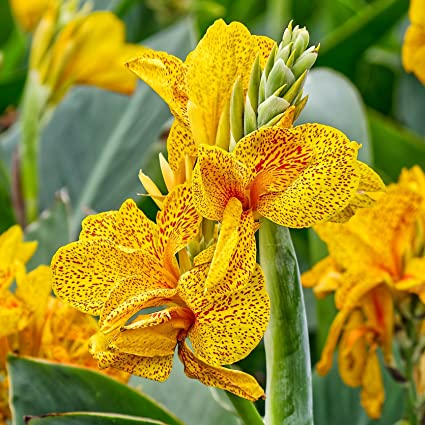 Amazon yellow canna golden lucifer 3 5 eye rhizome 3 large yellow canna golden lucifer 3 5 eye rhizome 3 large bulbs gorgeous blooms mightylinksfo