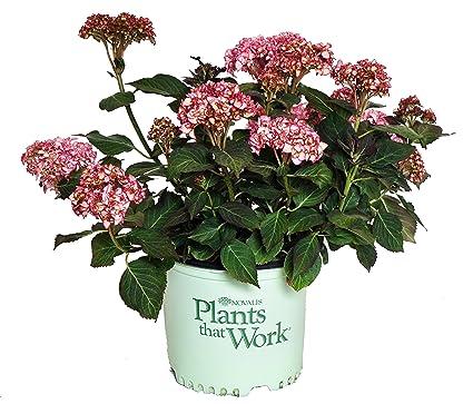 Amazon plants that work hydrangea mac miss saori bigleaf image unavailable mightylinksfo