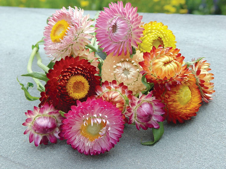 Amazon.com : Burpee Tall Mixed Colors Strawflower Seeds 750 seeds ...