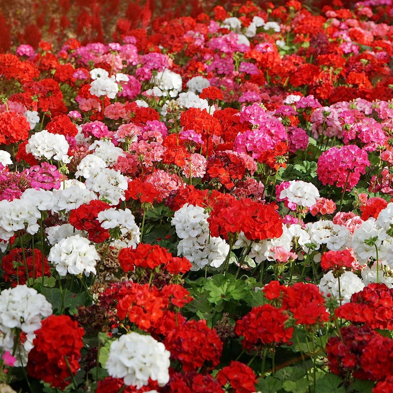 Amazon Com Outsidepride Geranium Flower Seed Plant Mix 100