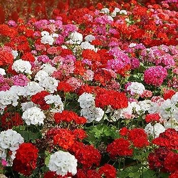 Outsidepride Geranium Flower Seed Plant