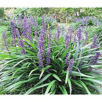 5 LILYTURF Liriope Muscari aka Big Blue Lily Turf / Monkey Grass Flower Seeds : Garden & Outdoor