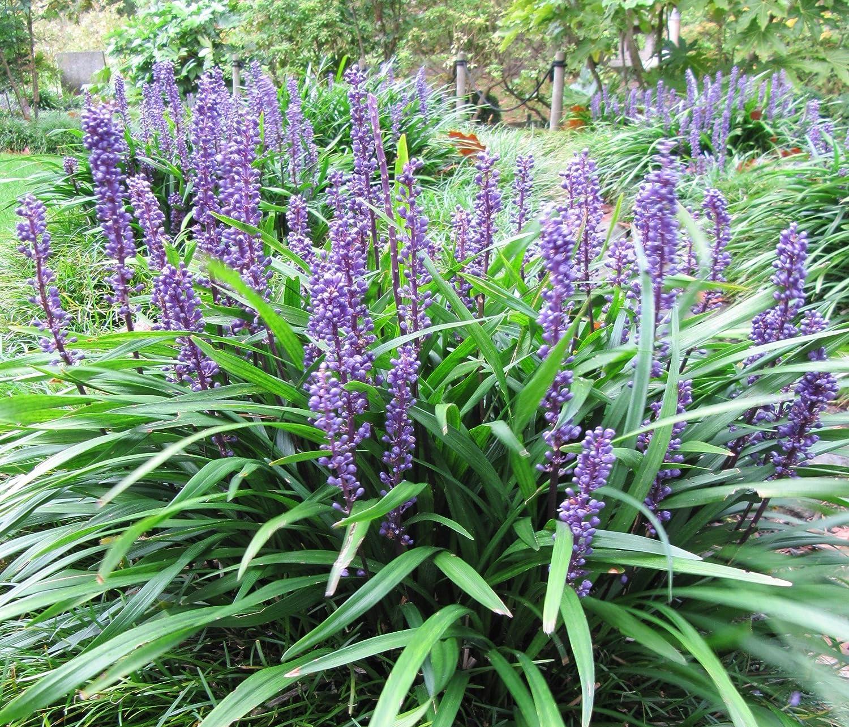 Amazon Com 5 Lilyturf Liriope Muscari Aka Big Blue Lily Turf