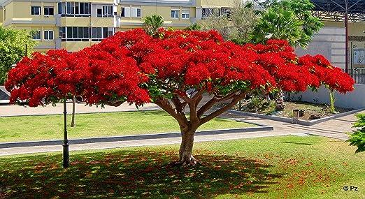 delonix regia árbol del fuego semillas 10: Amazon.es: Jardín