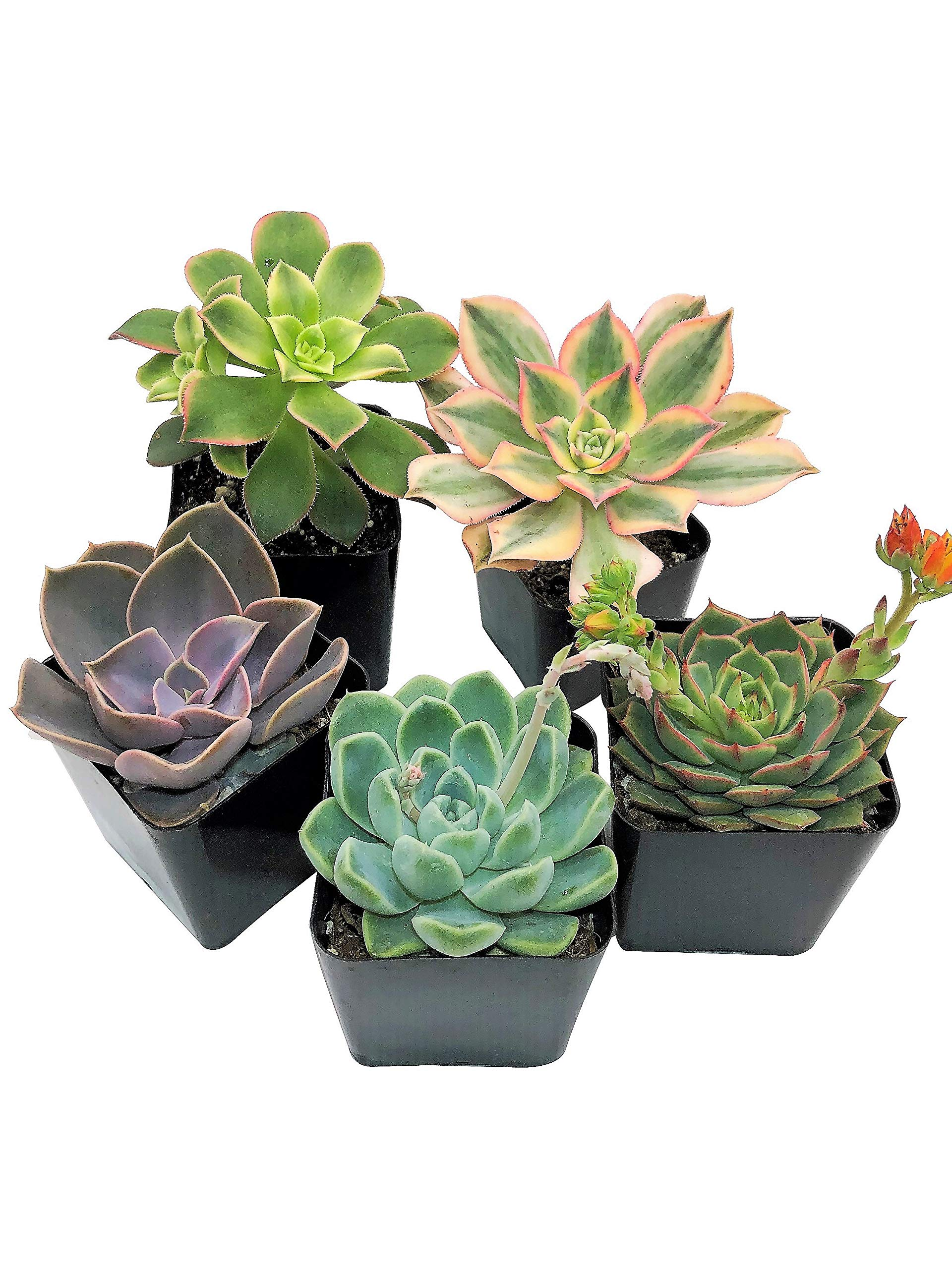Real Live Succulent Plants (5 Pack), Fully Rooted in Planter Pots with Soil - Unique Indoor Cactus Decor by The Succulent Cult by The Succulent Cult
