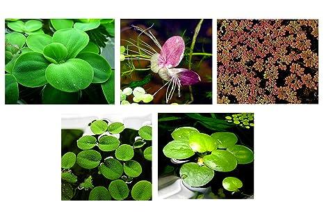 25 superficie/Live Acuario (estanque flotante) Plantas/6 diferentes tipos – Lechuga