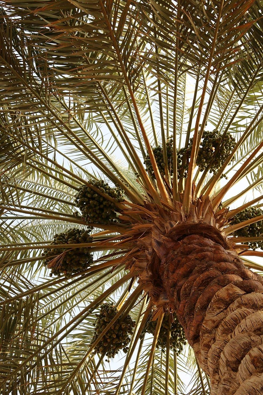 800 g Dátiles Medjool Palmyra Delights 100% natural ...