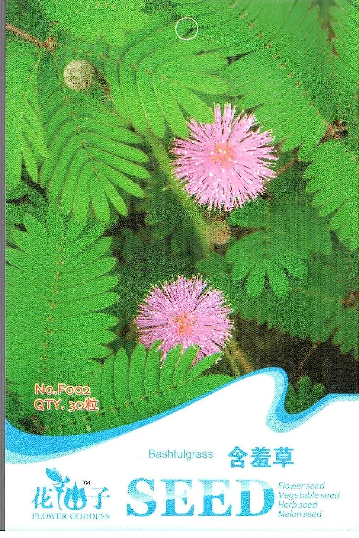 semillas y cosas Sensible Planta 40 semillas – Hojas Move ...