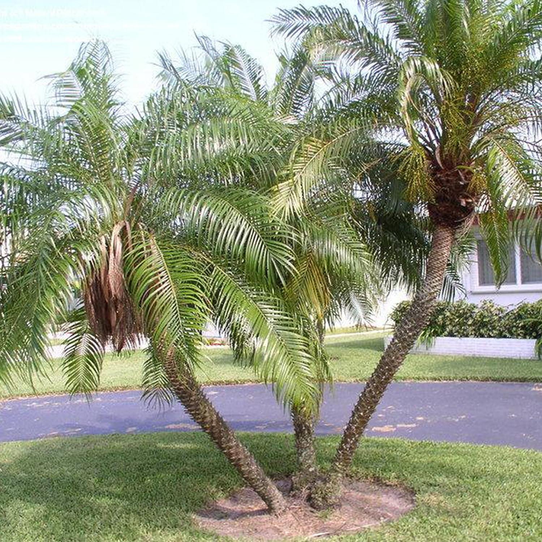 Phoenix roebelenii palms live tree 5/'/' to 8/'/'