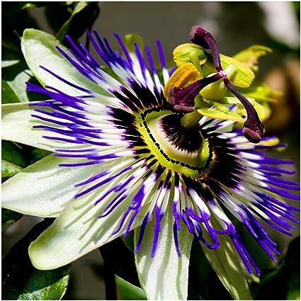 Amazon package of 100 seeds royal blue passion flower package of 100 seeds royal blue passion flower passiflora caerulea non gmo mightylinksfo