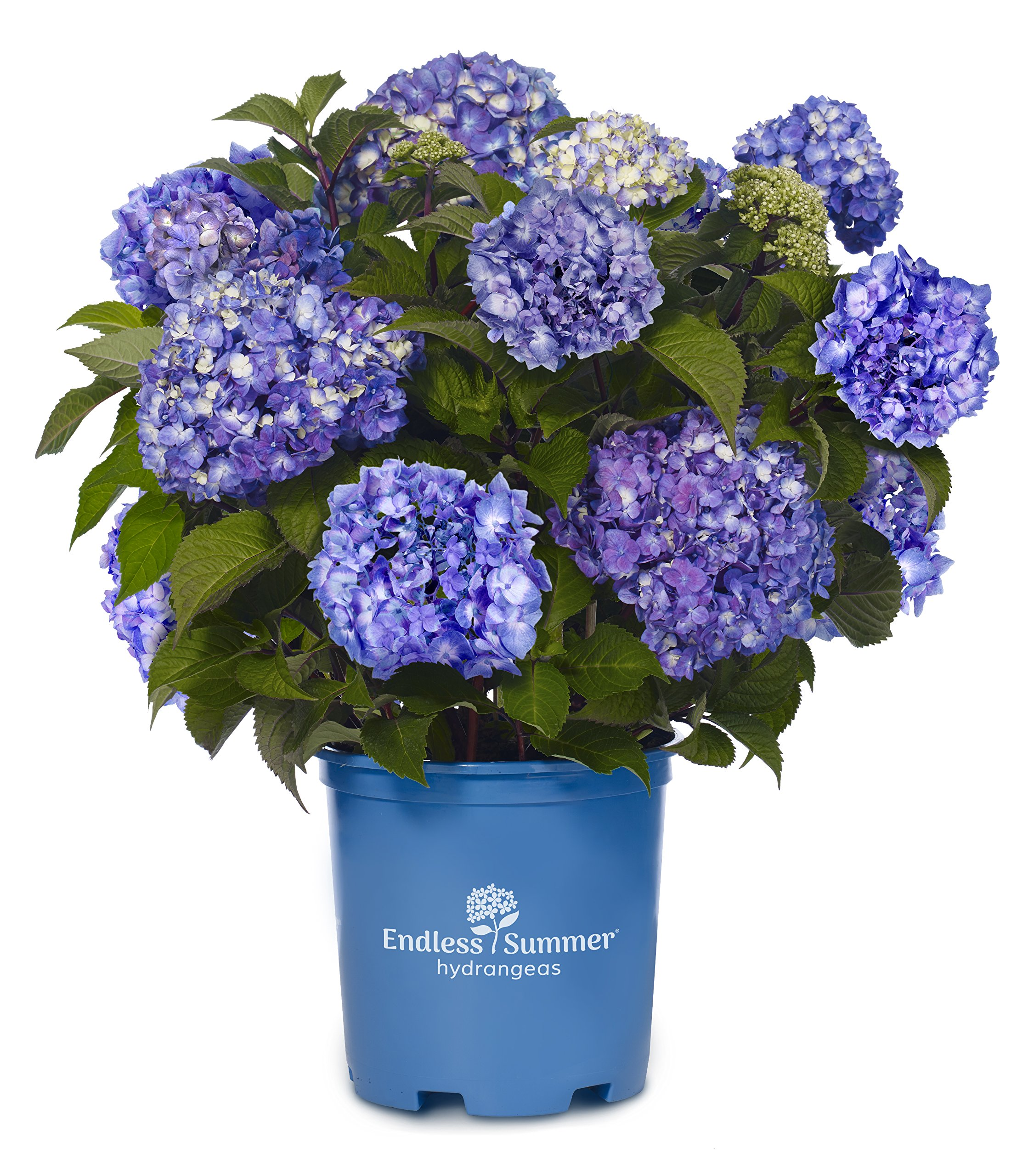 Endless Summer Collection - Hydrangea mac. Endless Summer BloomStruck (Reblooming Hydrangea) Shrub, RB purple, #3 - Size Container by Green Promise Farms