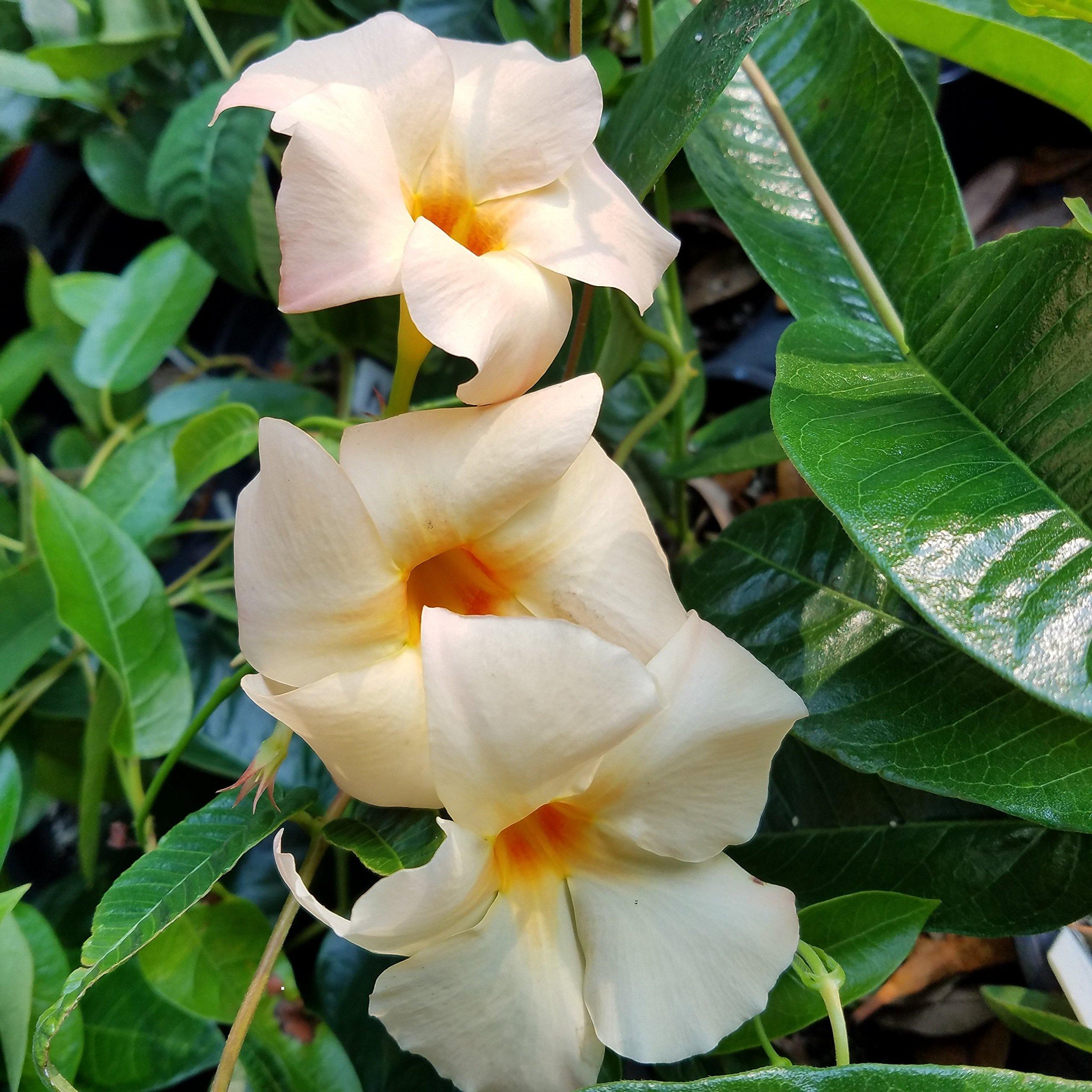 Sandys Nursery Online Mandevilla Apricot ~Lot of 2 ~ Starter Plants by Sandys Nursery Online (Image #1)