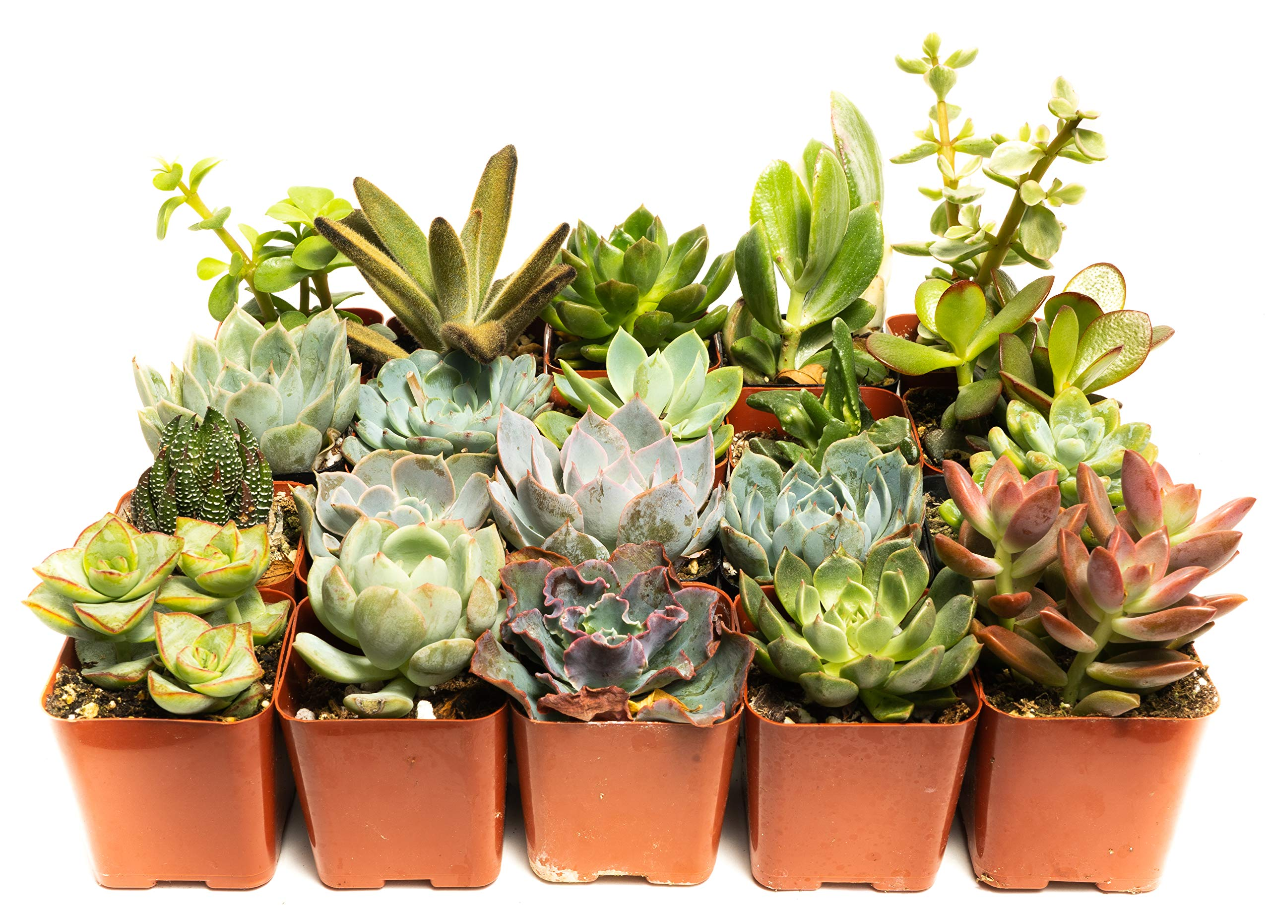 Succulent Assorted Pack- Perfect for Weddings, Party Favors, Home Gardens, and Social Events by Jiimz (20 Pack)