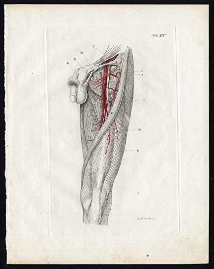 Amazon Antique Print Anatomy Angiology Artery Thigh Leg Pelvis